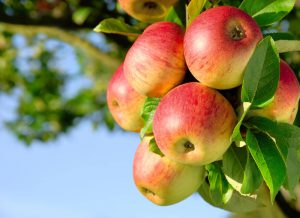 青汁,りんごポリフェノール
