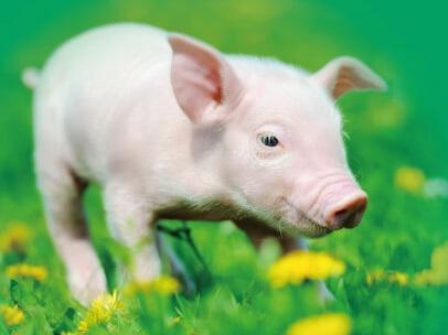 豚プラセンタ