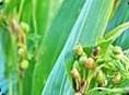 ハトムギ発酵液⇒乾燥を防ぎ、肌をなめらかにする